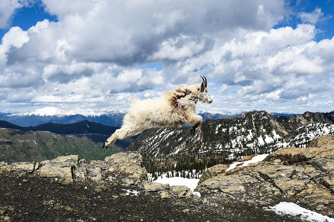 A mountain goat leaps across a gap in a rocky ledge in the Jewel Basin last summer.