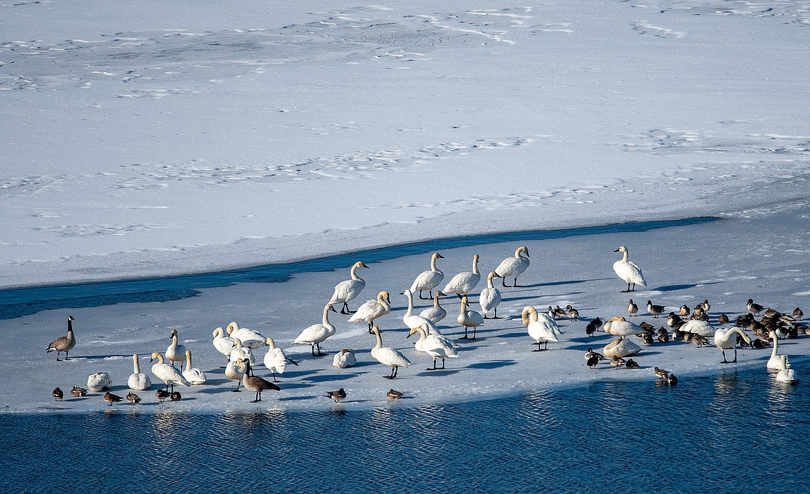 Tundra swans, Canada geese and a variety of ducks rest on the ice of the St. Mary River.
