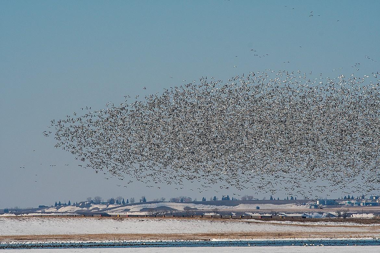 Snow geese fly en masse over Priest Lake.