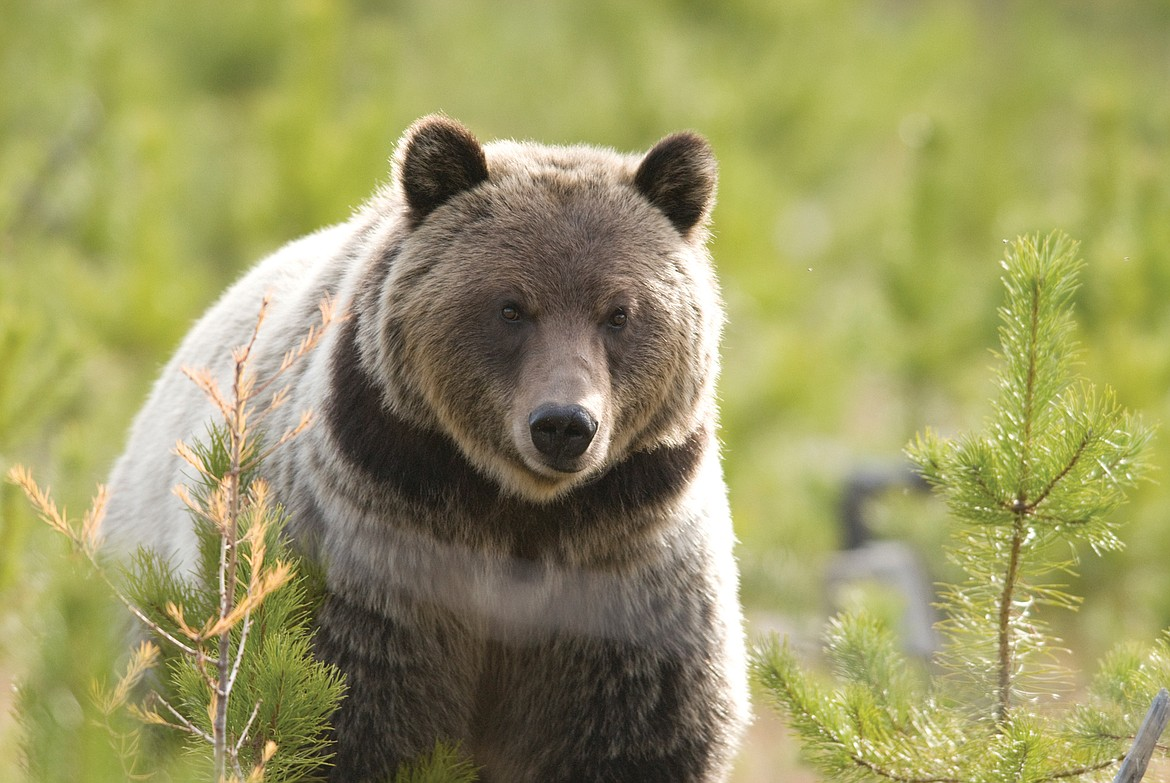 Work on grizzly bear research continues in the NCDE.