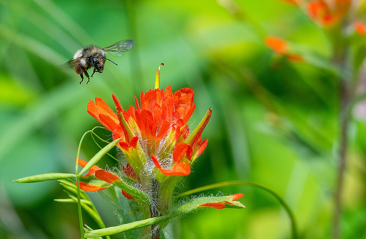 A bumblebee comes in for a landing on Indian paintbrush.