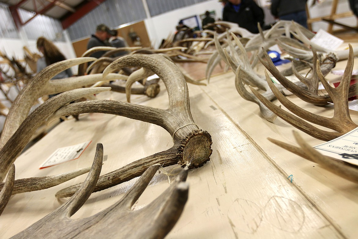 (Photo by CAROLINE LOBSINGER) Area residents look at horns brought in to be measured and judged at a past Bonner County Sportsmen's Association's annual Gun 'n' Horn Show. The show will be held Friday through Sunday, at the Bonner County Fairgrounds.