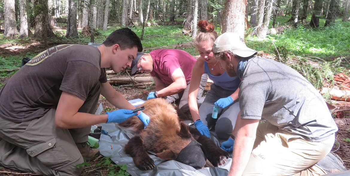 UI graduate student Matt Nelson (far right) and fellow researchers collar a black bear last summer. The work is part of a study that uses game cameras and GPS collars to determine black bear density