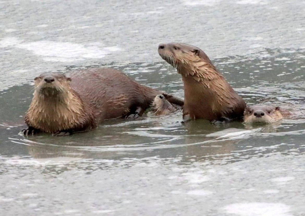 (Photo courtesy SEB JONES)   Local conservation groups are once again sponsoring a special winter event at the Little Panida, this time bringing back Dr. Wayne Melquist to speak about otters.