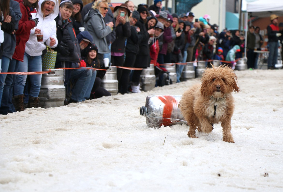 A young pup pauses as it tries to figure out what's going on as it takes part in the Winter Carnival K9 Keg Pull. The annual event, sponsored by Eichardt's, drew hundreds of dogs — and one youth — to run the Cedar Street course as part of a fundraiser for the Panhandle Animal Shelter.