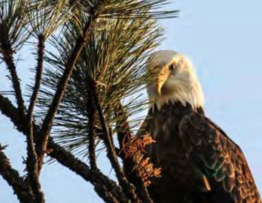 """""""Bald Eagle at Higgens Point"""" by Jackie McNeel (Courtesy City of Coeur d'Alene)"""