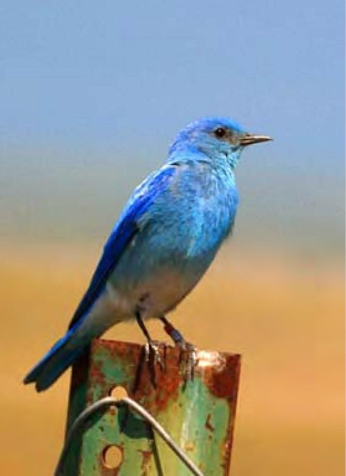"""Mountain Bluebird, ID State Bird"" by Joel McNee (Courtesy City of Coeur d'Alene)"