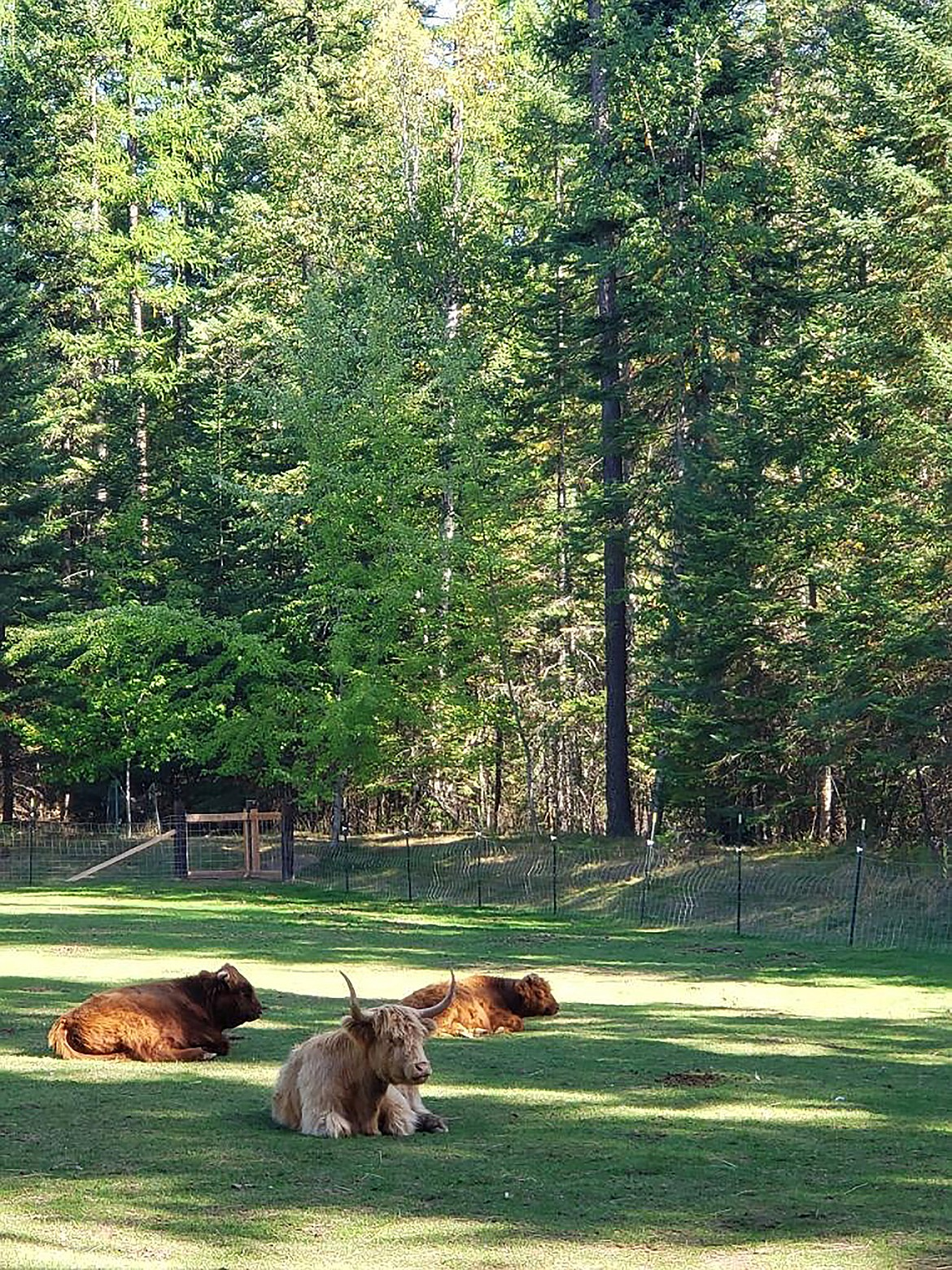 (Courtesy photo)   Scottish Highland cattle at Twilight Farms in Sagle. The farm, owned by Mark & Blythe Nudelman, used a FACT grant to purchase a freezer unit to store excess beef due to Idaho's stay-at-home order.
