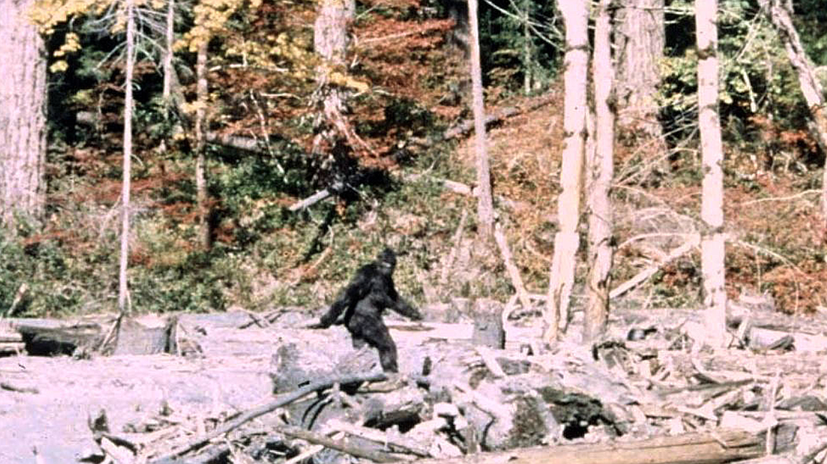 A frame from the now-world-famous Patterson-Gimlin film, which captured footage of a mysterious creature wandering the woods of Northern California in 1967.   (Courtesy of Bob Gimlin)