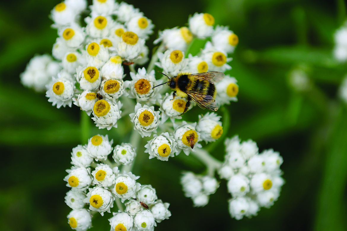 A natural for poor, dry soils, Pearly Everlasting tolerates drought, though in a garden setting, regular watering the first year helps it develop a strong root system.