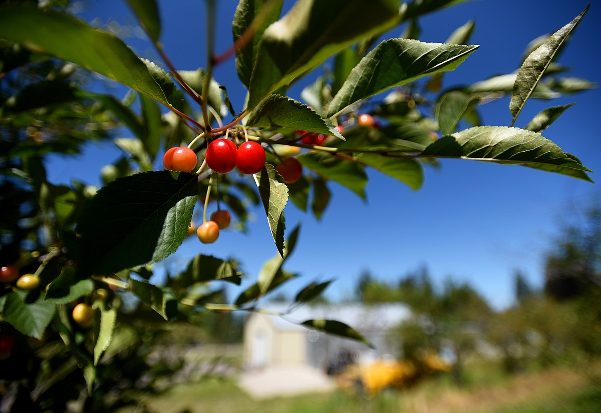 Pie cherries are one of several varieties grown at Bowman Orchards. (Jeremy Weber/Daily Inter Lake)