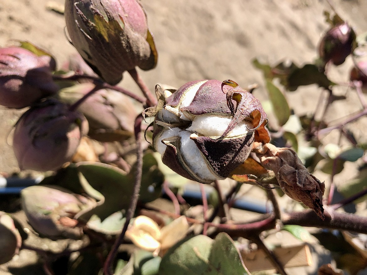 A cotton boll nearly ready to be harvested.