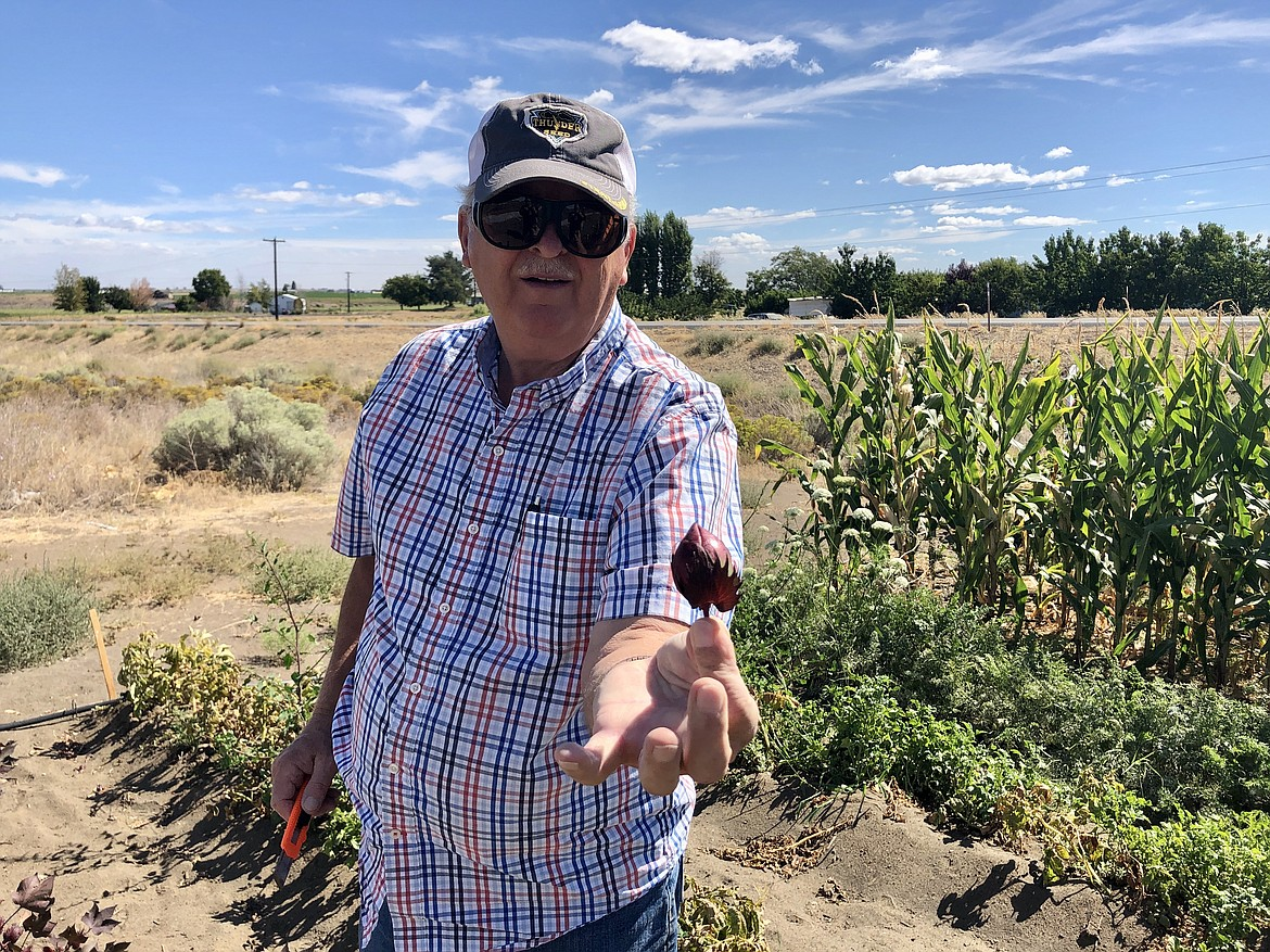 Augie Kooistra holds out a cotton boll, cut from one of the dozen or so cotton plants he's growing in his test field south of Ephrata.