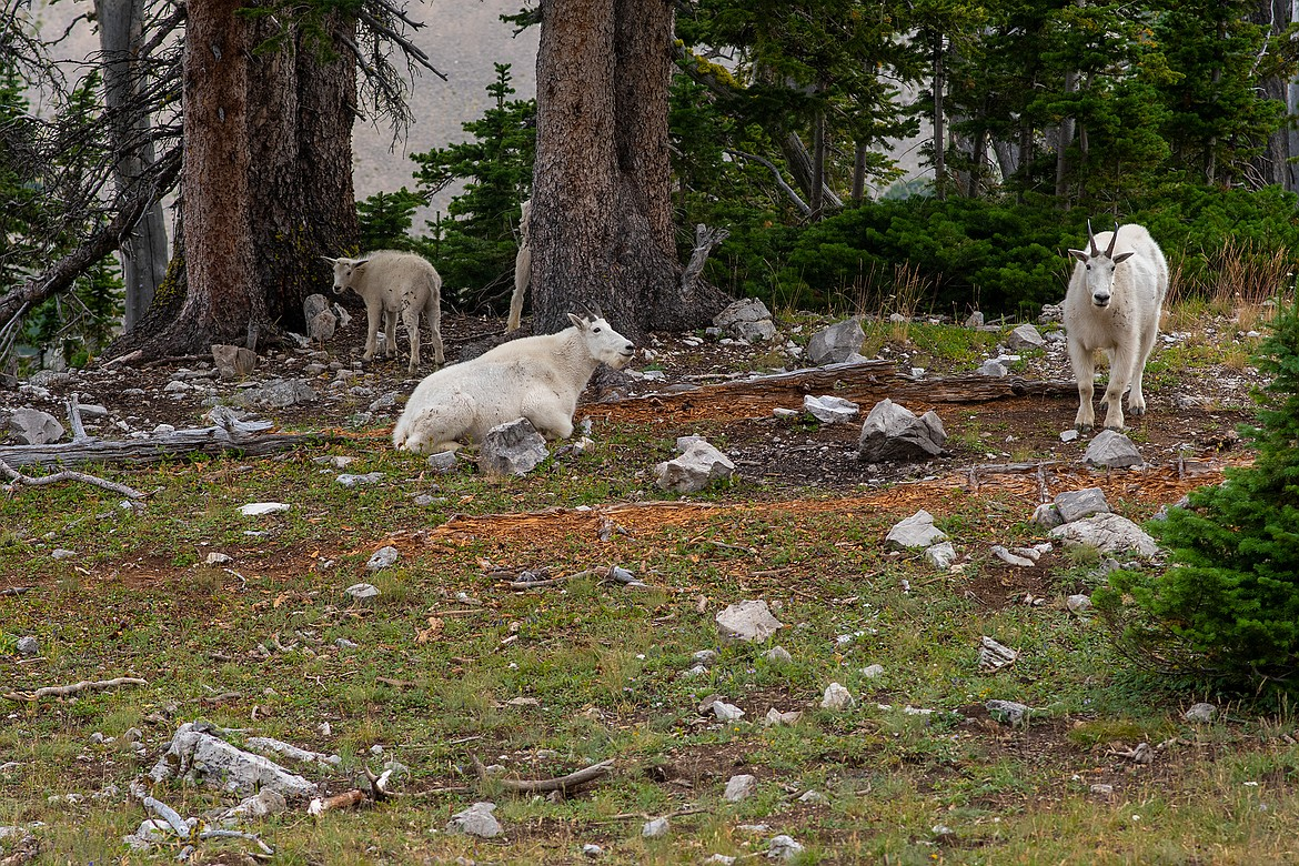 A family of mountain goats take refuge beneath a copse of trees in the Bob Marshall Wilderness. (Chris Peterson/Hungry Horse News)