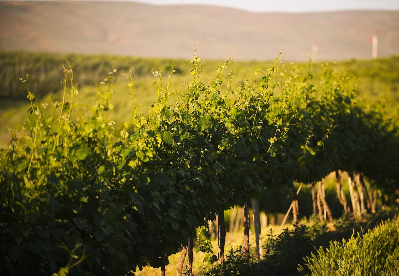 A view of the vineyard at Gilbert Cellars.