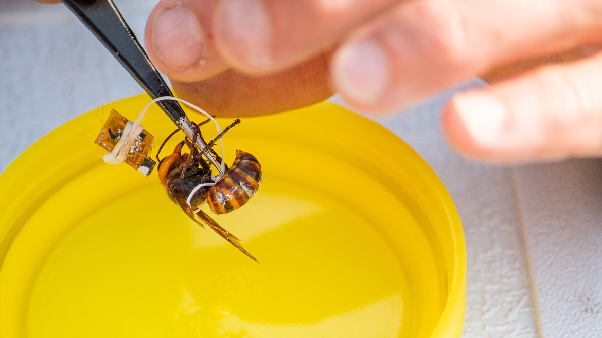 A live but somewhat sedated Asian giant hornet with a tracking chip tied around her.