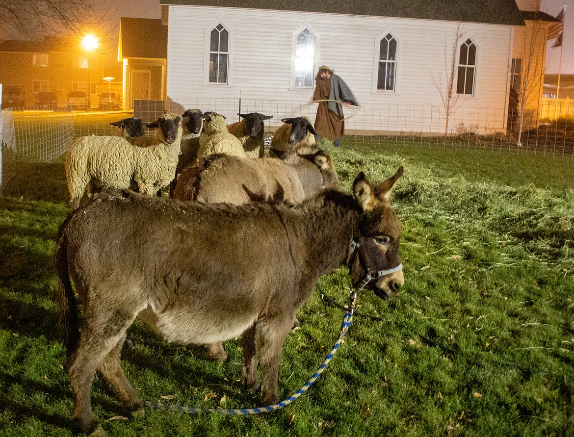 Rod Cool, ag teacher and FFA adviser at Quincy High School, helped gather up the animals for the Living Nativity at the Quincy Valley Historical Society & Museum on Saturday evening.