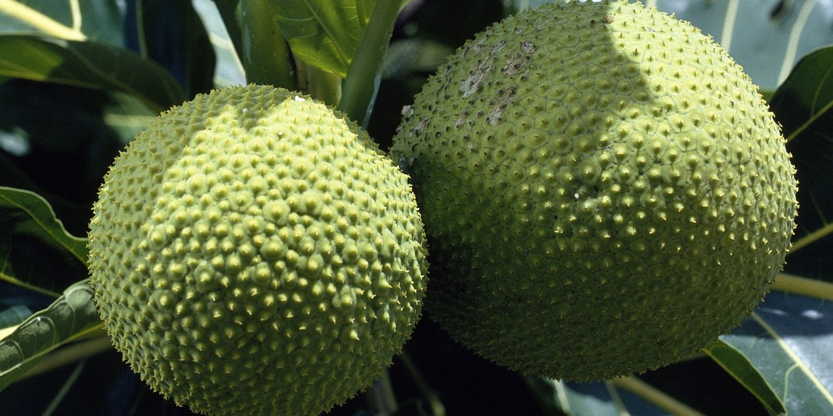 Captain Bligh's mission was to obtain breadfruit saplings in the South Pacific and take them to the West Indies where it would be grown as inexpensive food to feed the slaves.