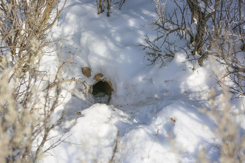 An active Columbia Basin pygmy rabbit burrow is seen in the Beezley Hills Preserve.