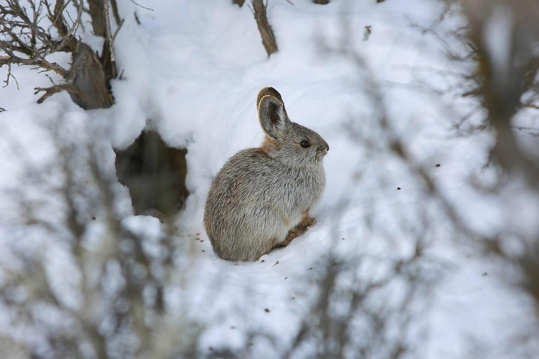 An elusive Columbia Basin pygmy rabbit on the Beezley Hills in February.