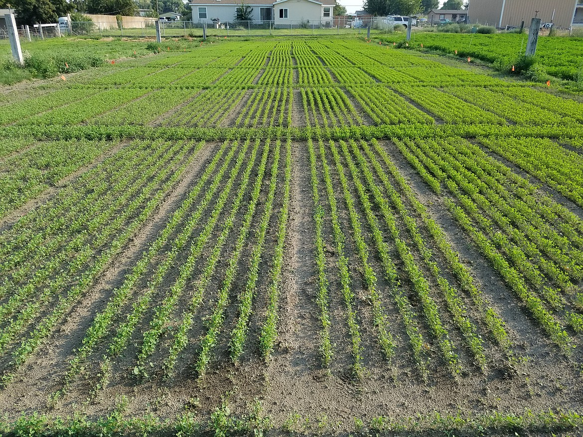 """An """"excellent stand"""" of alfalfa growing just north of Pasco."""