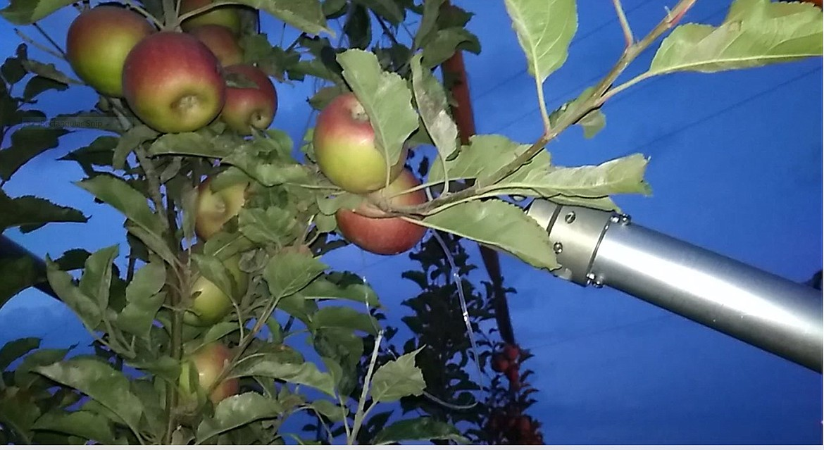 "A ""hand"" on FFRobotics' automated harvesting machine reaches out to pick an apple. FFRobotics is working with the Washington tree Fruit Research Commission to develop a machine that can replace human apple pickers in the hope of having the state's apple harvest 50% automated within 10 years."