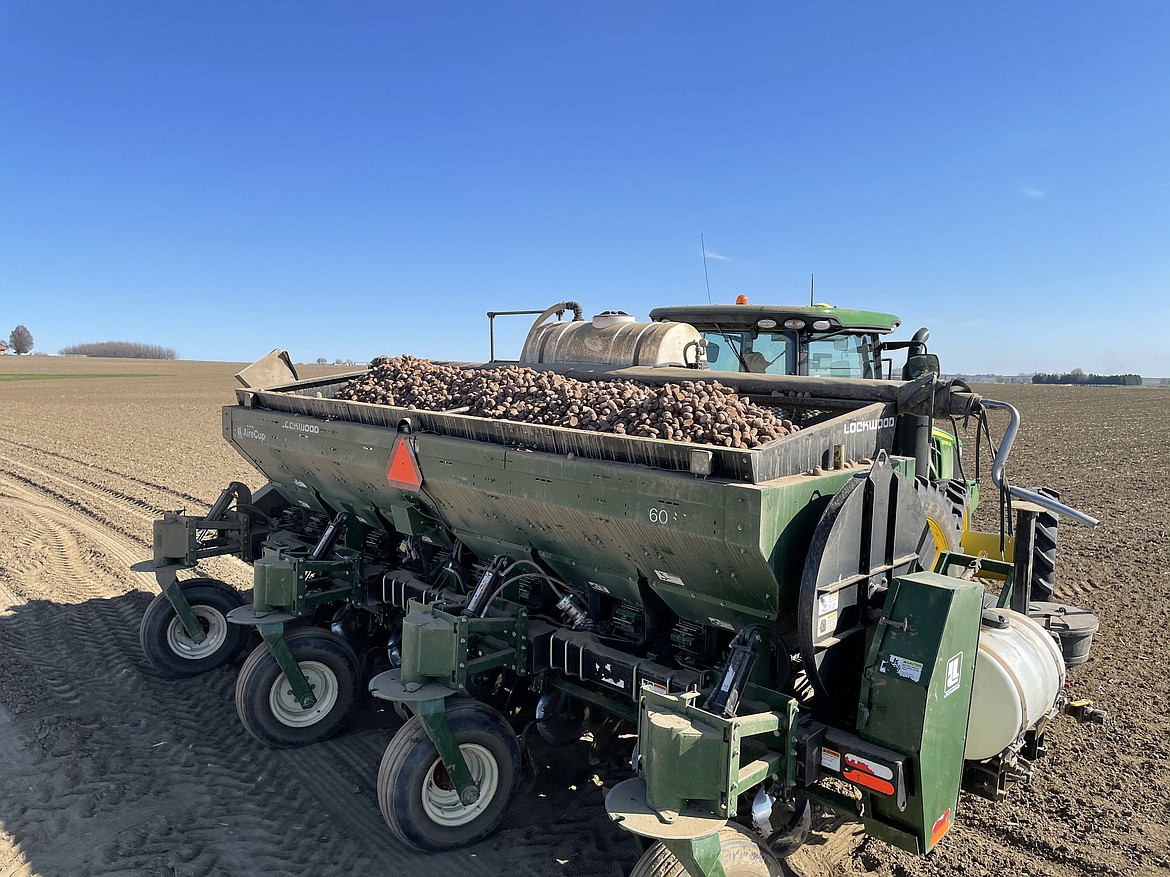 Seed potatoes in a planter on its way to sow an acre of potatoes belonging to Schneider Farms of Pasco.