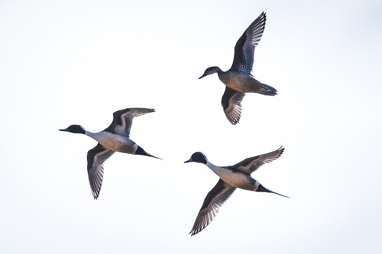 Northern pintail ducks take flight at Freezout Lake Wildlife Management Area on Monday, March 29. (Casey Kreider/Daily Inter Lake)
