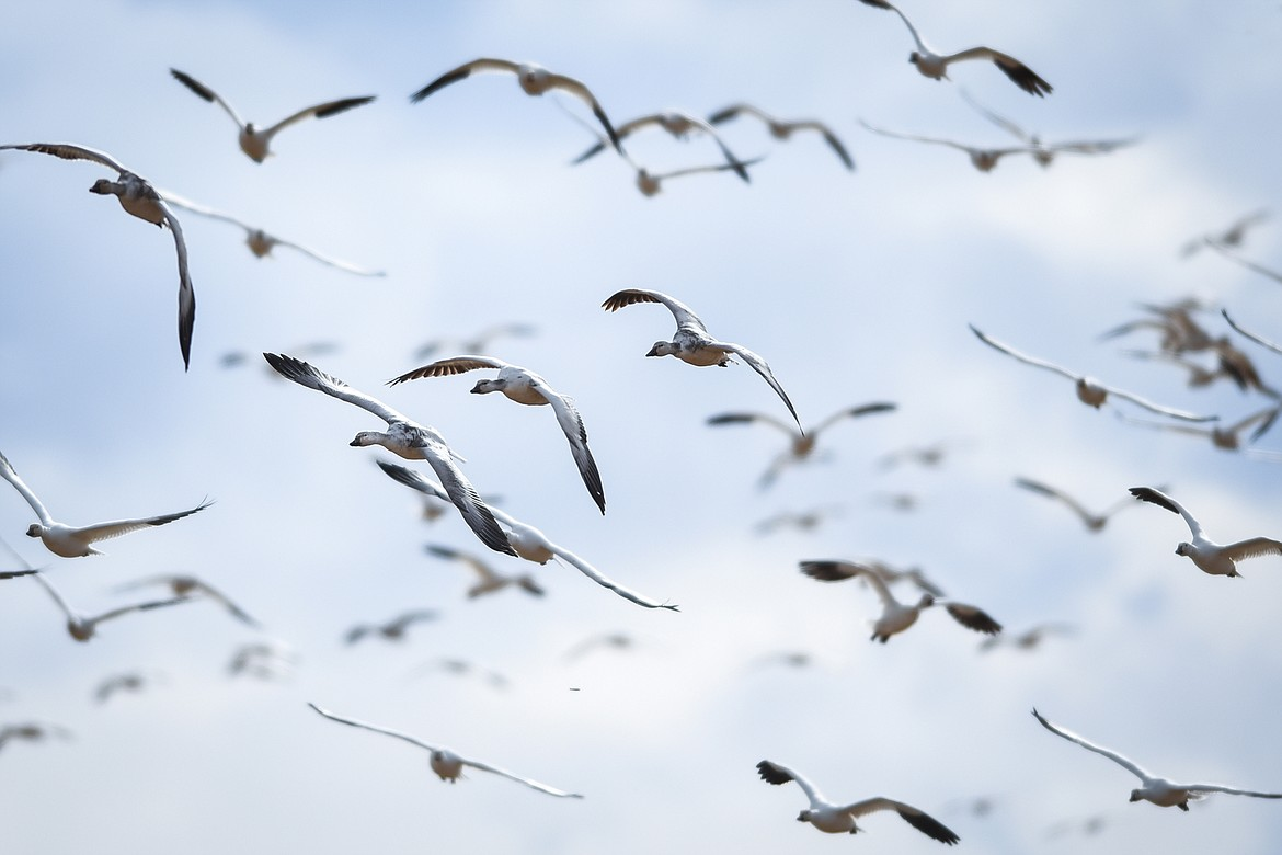 Snow geese take to the skies over Freezout Lake Wildlife Management Area on Monday, March 29. (Casey Kreider/Daily Inter Lake)