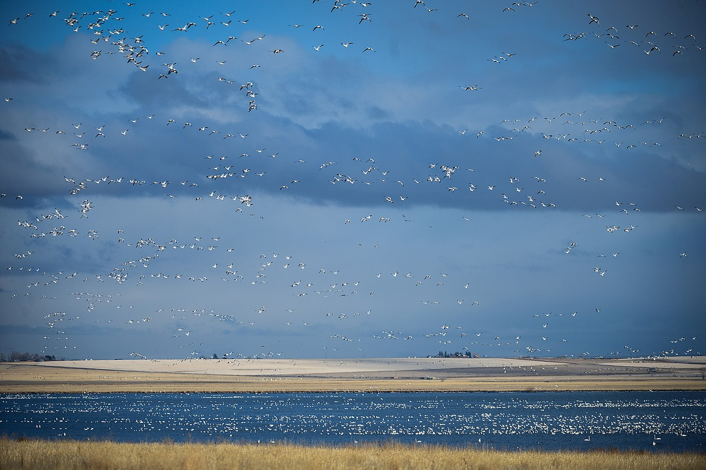Migratory birds take to the skies over Freezout Lake Wildlife Management Area on Monday, March 29. (Casey Kreider/Daily Inter Lake)