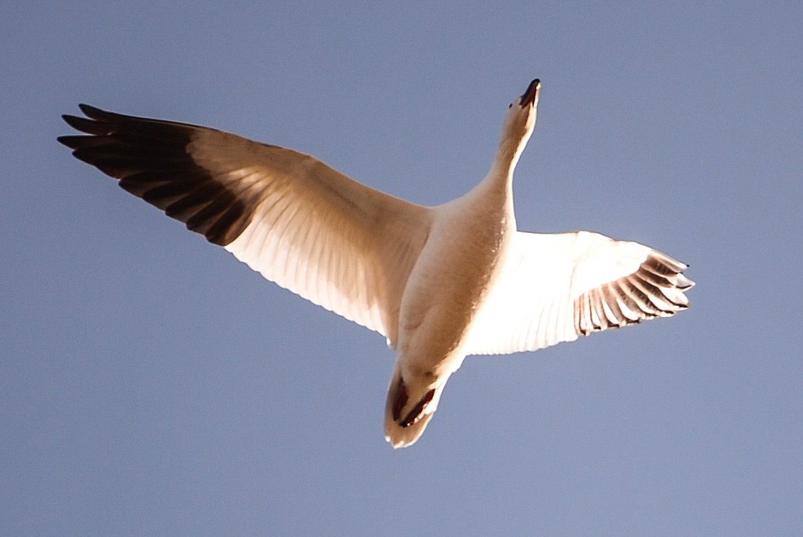A snow goose flies over Freezout Lake Wildlife Management Area on Monday, March 29. (Casey Kreider/Daily Inter Lake)