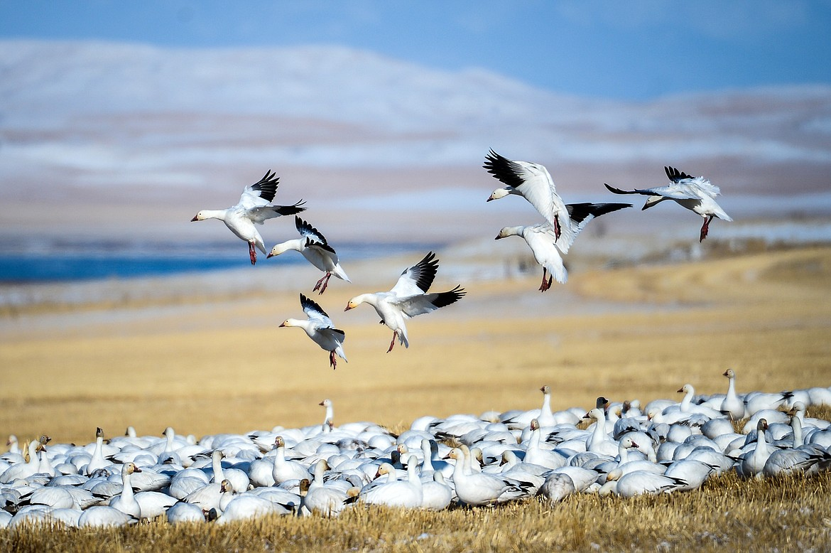 Snow geese fly in to feed in a farm field near Freezout Lake Wildlife Management Area on Monday, March 29. (Casey Kreider/Daily Inter Lake)