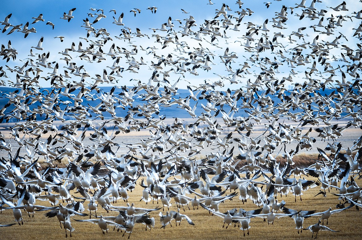 Snow geese take flight at Freezout Lake Wildlife Management Area on Monday, March 29. (Casey Kreider/Daily Inter Lake)