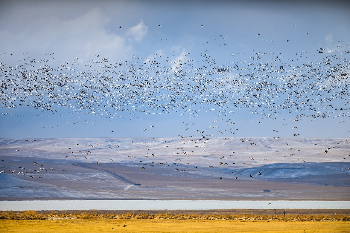 Migratory birds take to the skies over Freezout Lake Wildlife Management Area on Monday, March 29. (Casey Kreider/Daily Inter Lake)