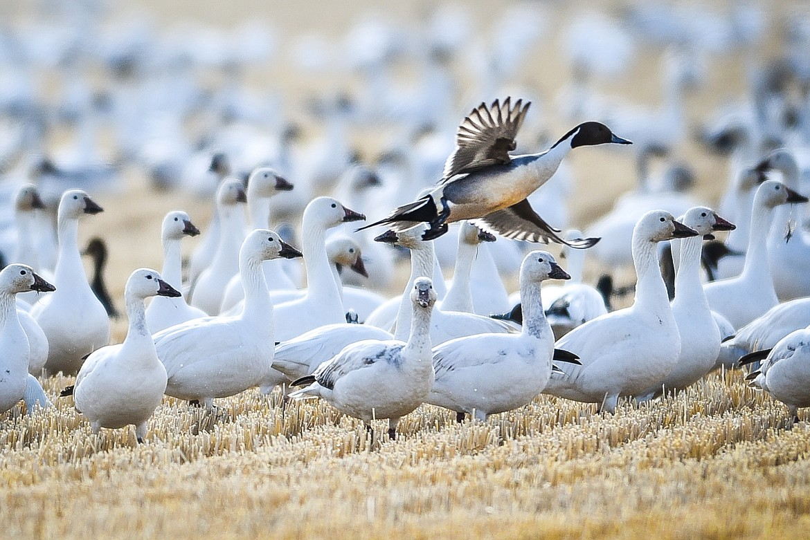 A northern pintail duck swoops in over a group of snow geese feeding in a field at Freezout Lake Wildlife Management Area on Monday, March 29. (Casey Kreider/Daily Inter Lake)