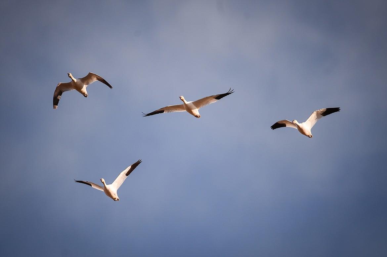 Snow geese take flight at Freezout Lake Wildlife Management Area on Monday, March 29. (Casey Kreider/Daily Inter Lake)