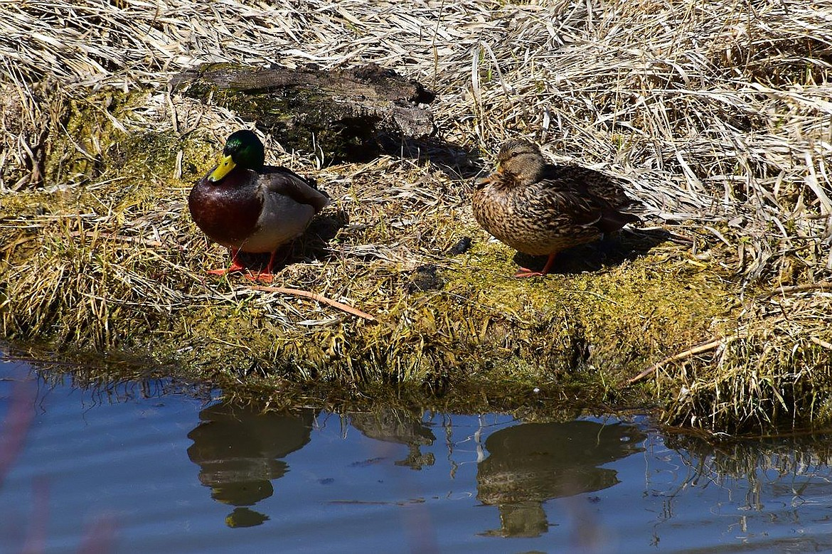 Local photographer Robert Kalberg captured this photo of waterfowl in the Crossport Road area recently.