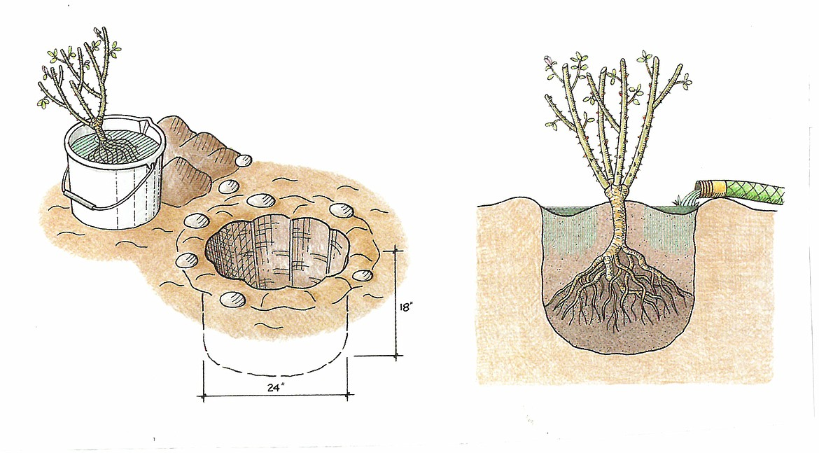 When planting bare-root roses, make sure to cover union of stem and branches as shown.