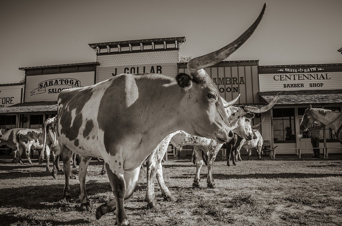Longhorn cattle at Dodge City, Kan., once a hub of the open range cattle drives.