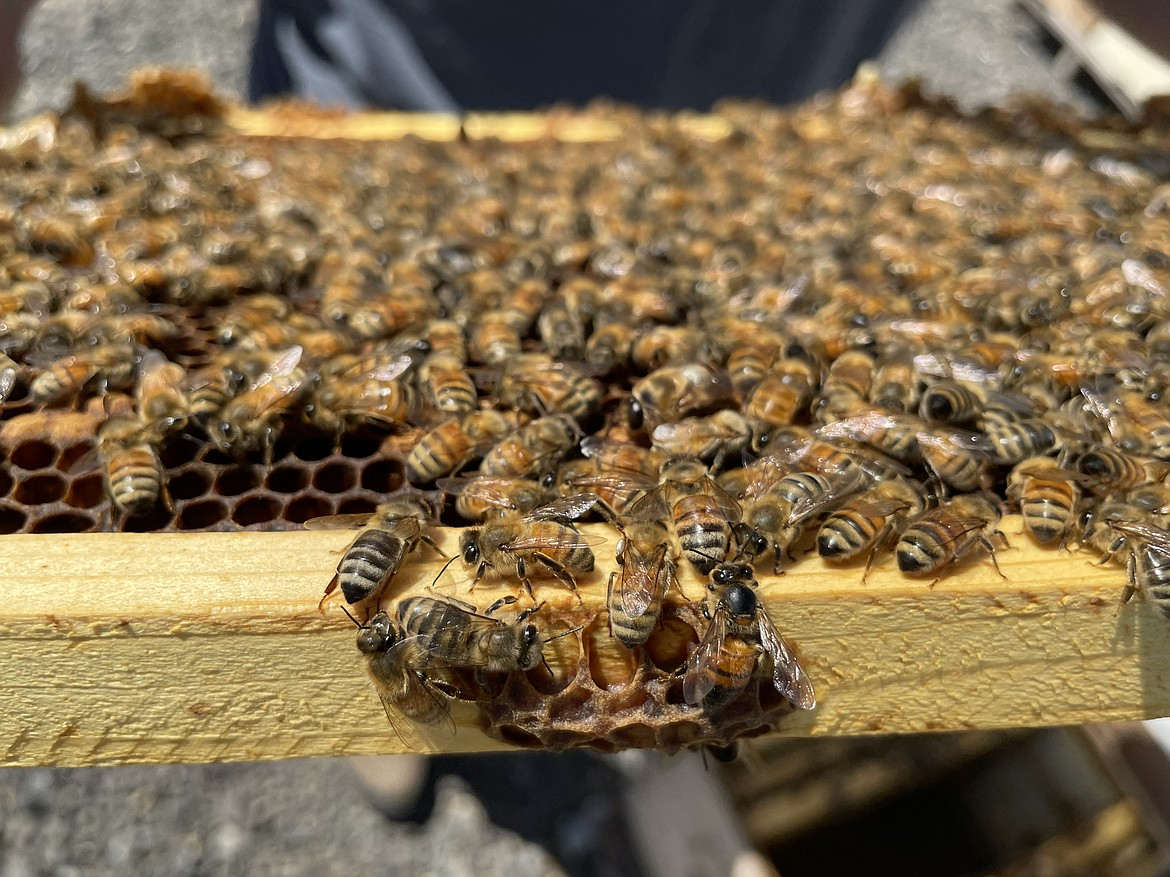 A frame of bees from a fairly healthy hive.