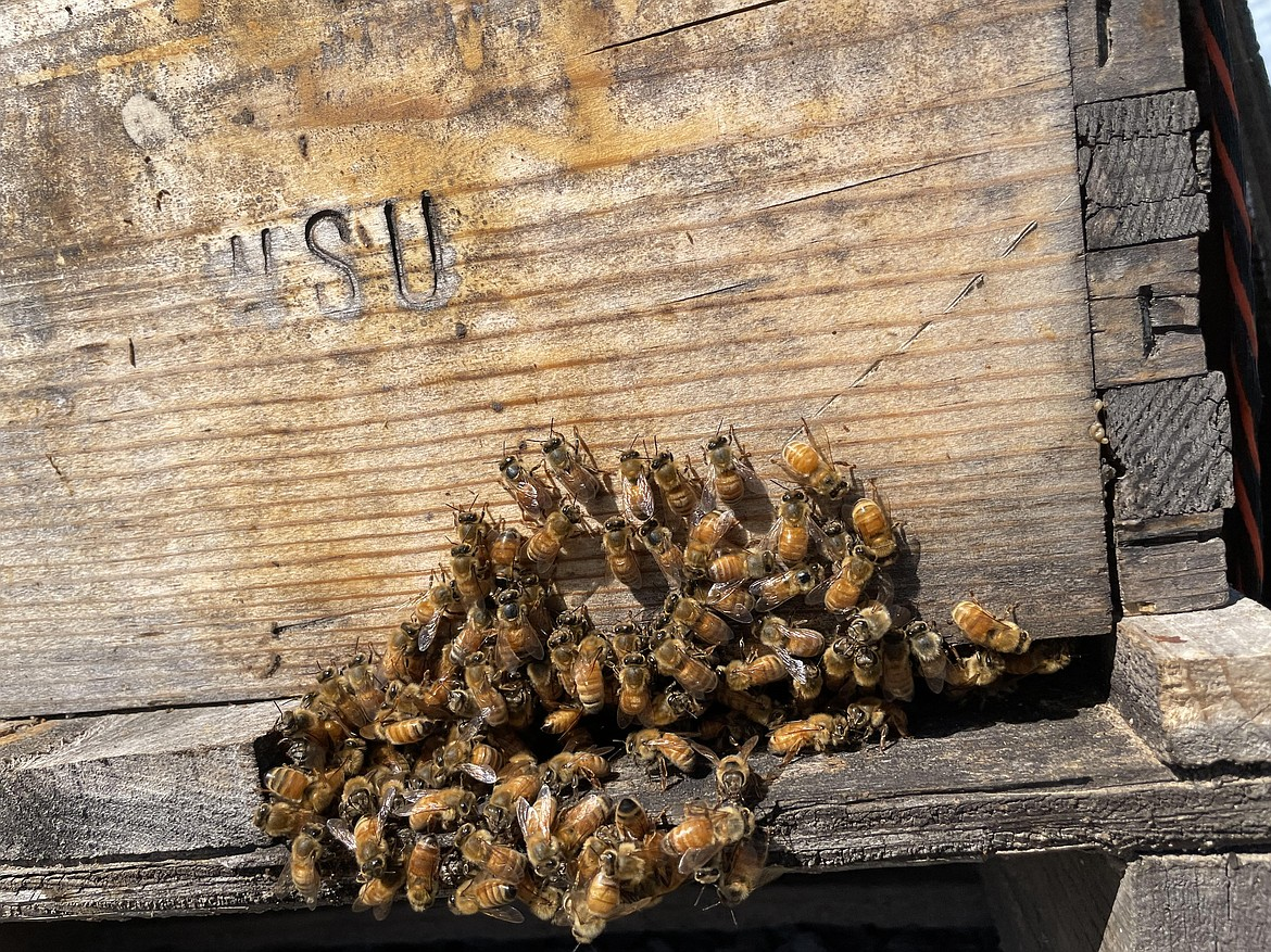 Bees on the porch of a WSU hive.