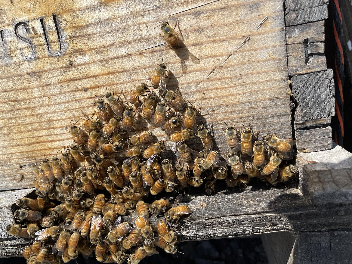 Bees gathering on the porch of a WSU hive at WSU's Honey Bee and Pollinator Research, Extension and Education Facility near Othello.