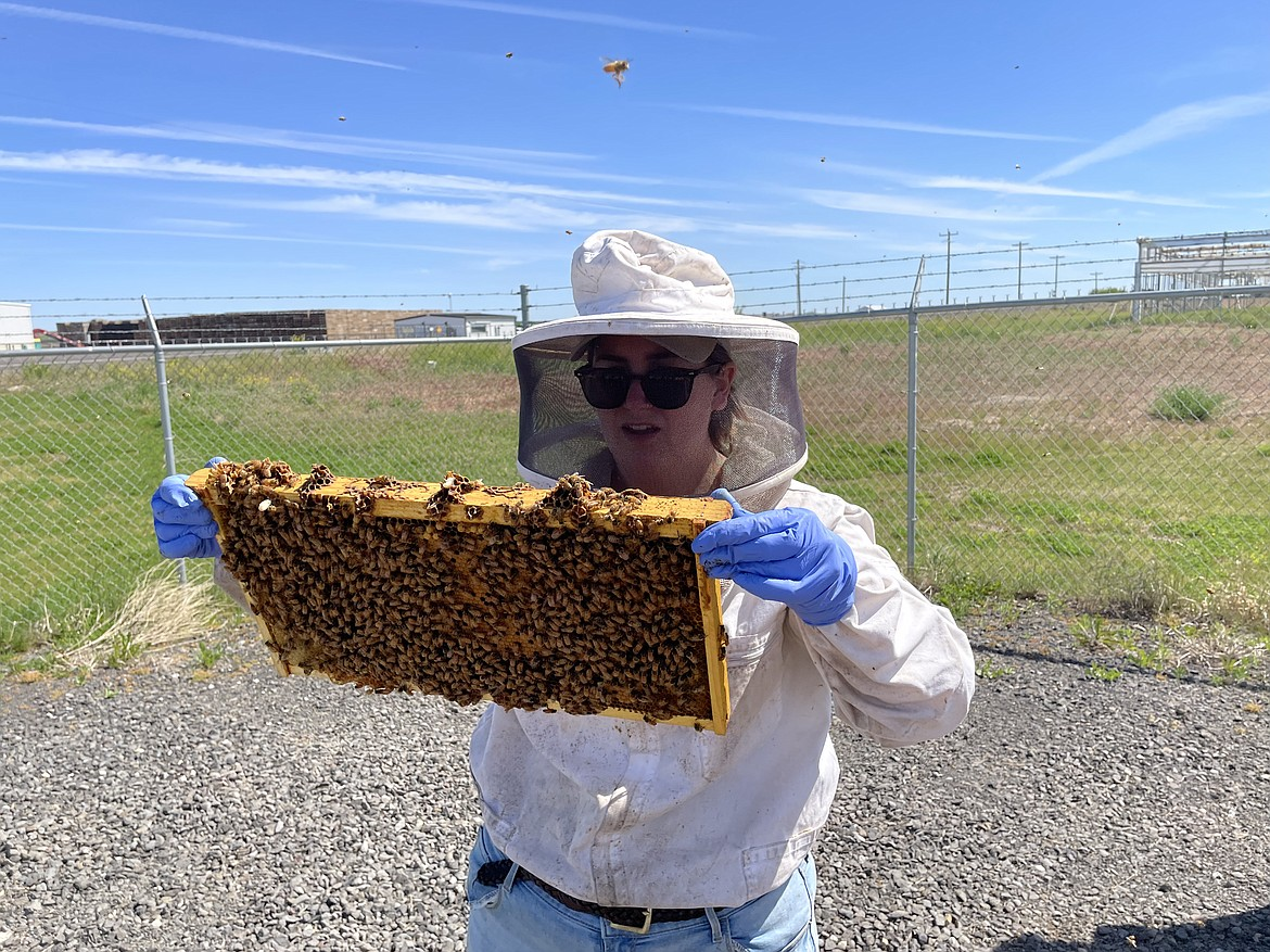 """Post-doctoral researcher Kelly Kulhanek examines a frame of bees from a hive to determine how well the hive is doing. """"These are all relatively new colonies, and we  just check to make sure they are doing okay, and give them some food I think,"""" she said."""
