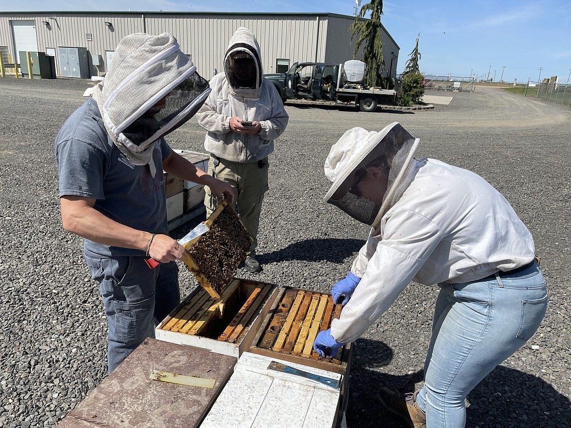 WSU Assistant Research Professor Brandon Hopkins and post-doctoral researcher Kelly Kulhanek examine beehives while graduate student Riley Reed enters data at WSU's Honey Bee and Pollinator Research, Extension and Education Facility near Othello.