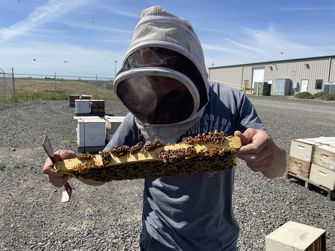 WSU Assistant Research Professor in Entomology Brandon Hopkins examines a frame of bees.