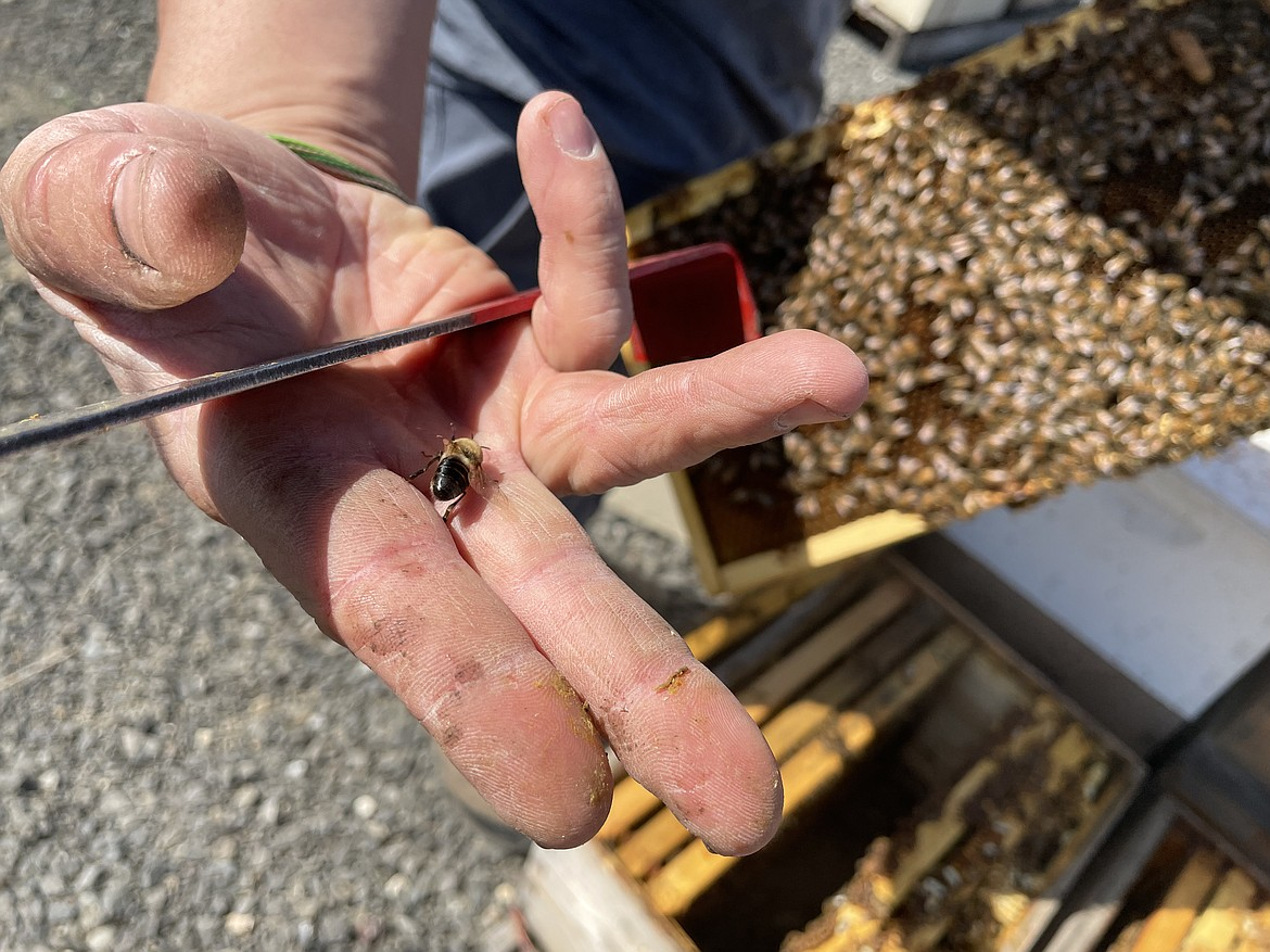 Associate Research Professor in Entomology Brandon Hopkins shows off a stinger less drone he pulled off a frame from a hive. The presence of drones, which exist only to breed with a queen, is a sign a hive is getting ready to swarm, Hopkins said.