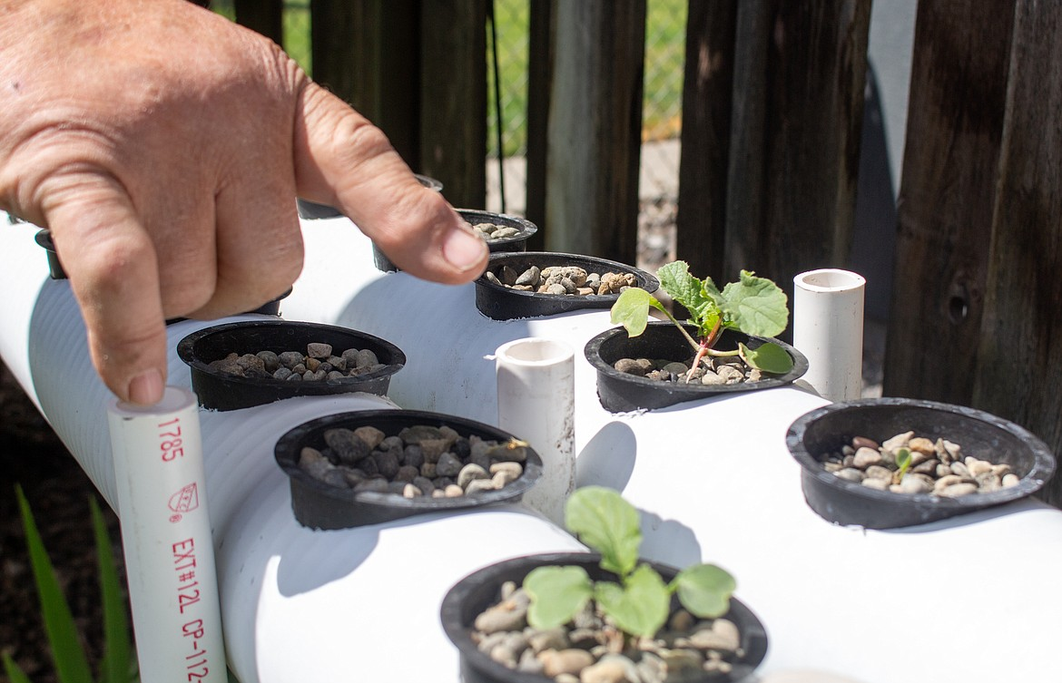 Ken Rosecrans points to one of the radishes emerging in his hydroponic growing setup.