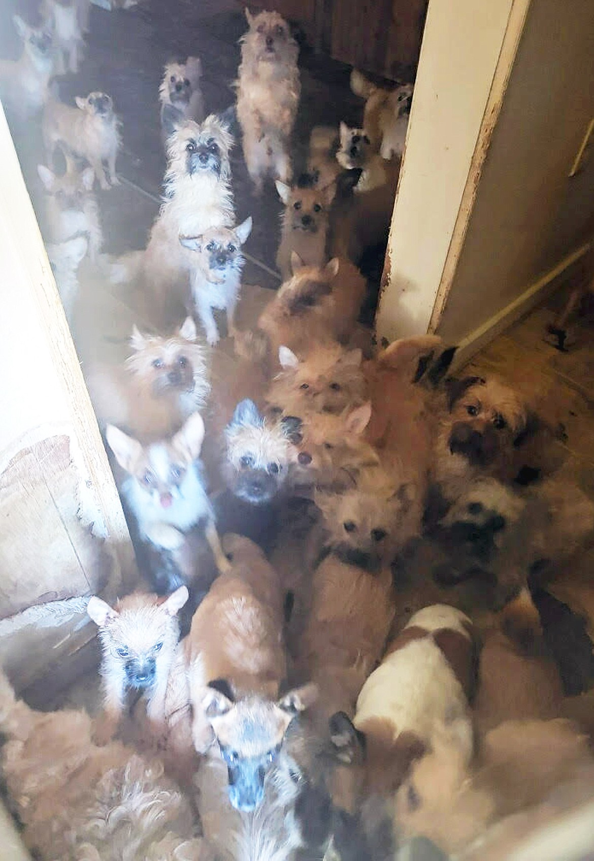 Photo courtesy Kootenai Humane Society Some of the dogs in a Kellogg hoarding situation look up as people enter the house on Monday.