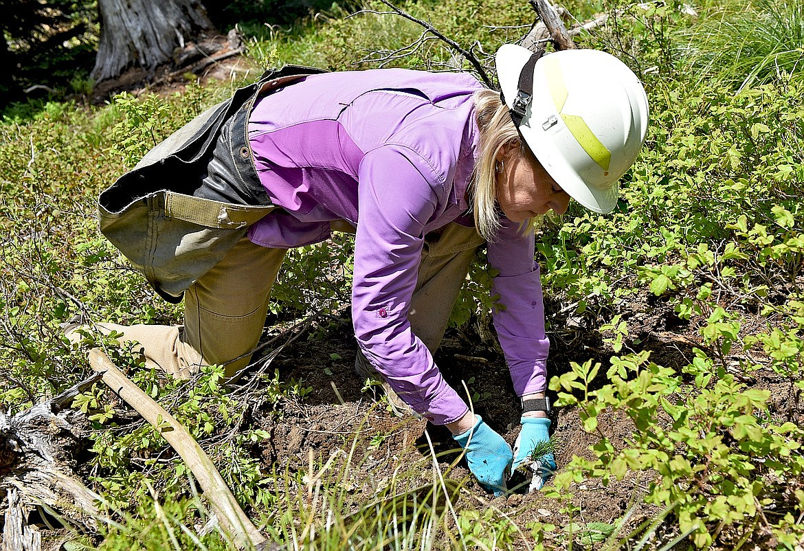Former Flathead National Forest silviculturist Melissa Jenkins demonstrates the proper way to plant a whitebark pine seedling to ensure its best chance of survival at Whitefish Mountain Resort. (Whitney England/Whitefish Pilot)