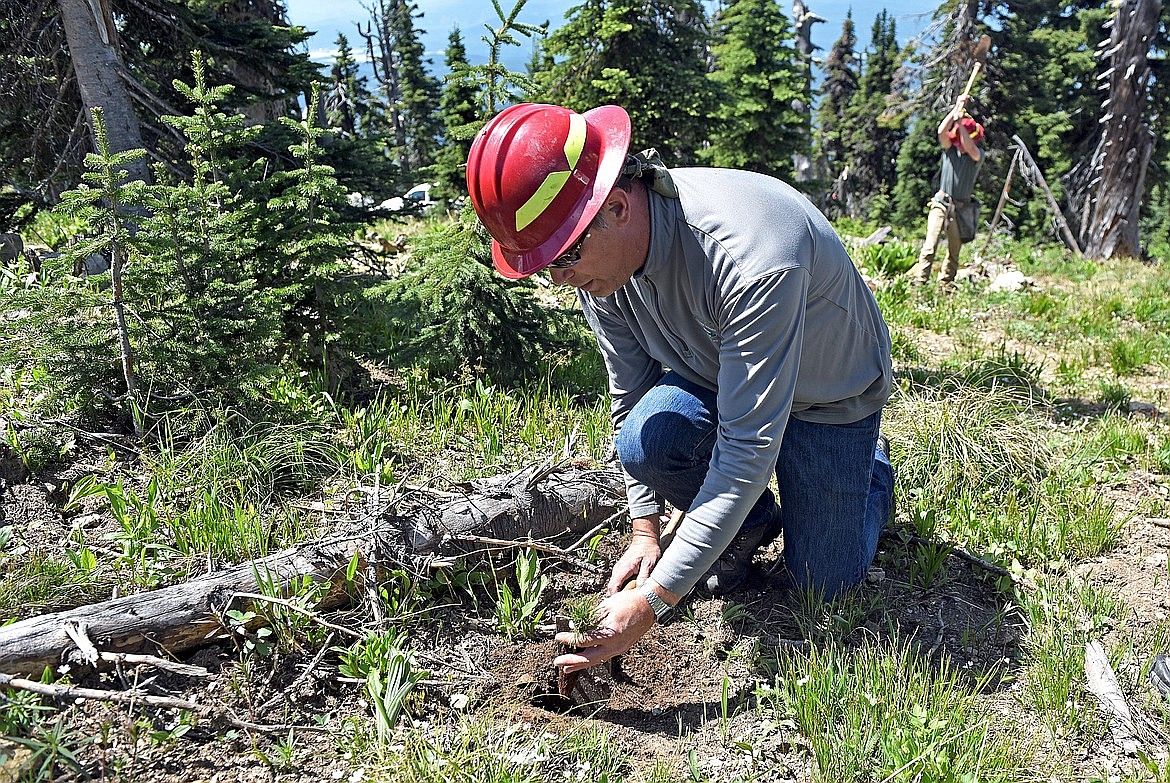 Flathead National Forest culturist Karl Anderson plants a whitebark pine seedling at Whitefish Mountain Resort. (Whitney England/Whitefish Pilot)
